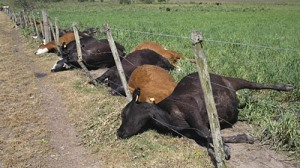 The cows laying dead after the storm